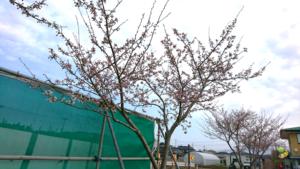 桜、開花宣言!