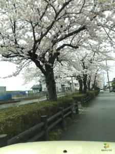 桜、咲く。